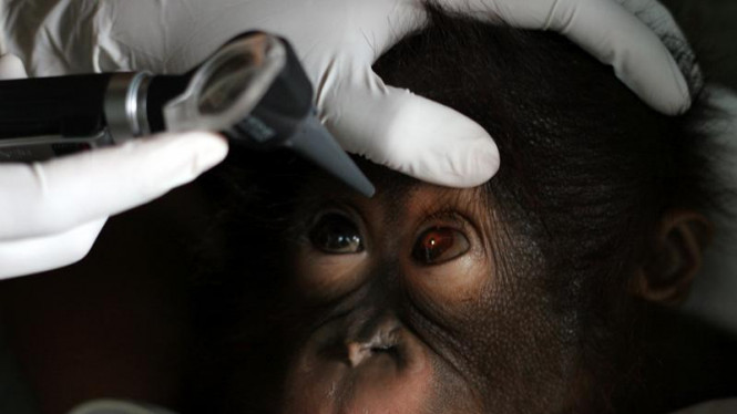 Sekolah Bayi Orangutan, Periksa Orangutan Sakit