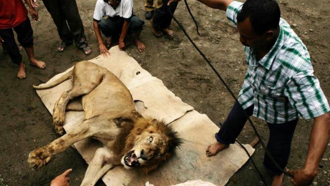 Singa Jurug terkam unta hingga tewas
