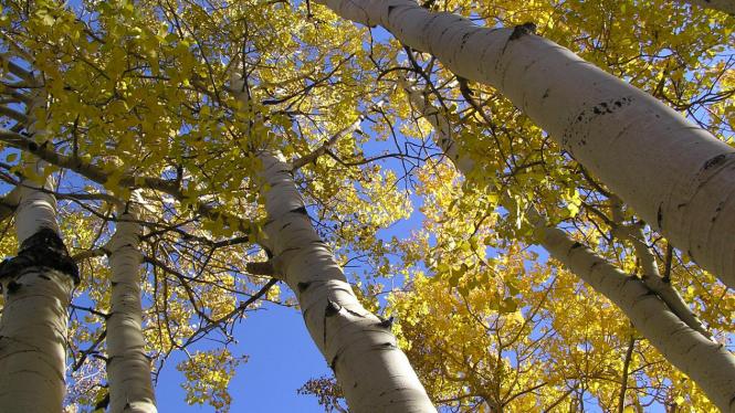 Populus tremuloides, tanaman tertua di dunia