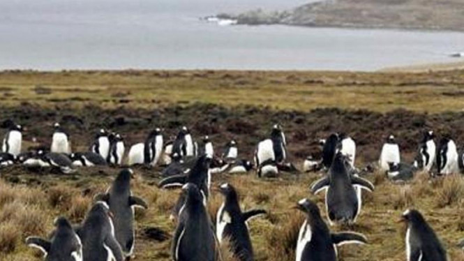 Penguin di kepulauan Falkland