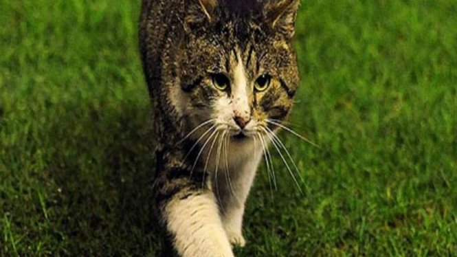 Kucing Anfield