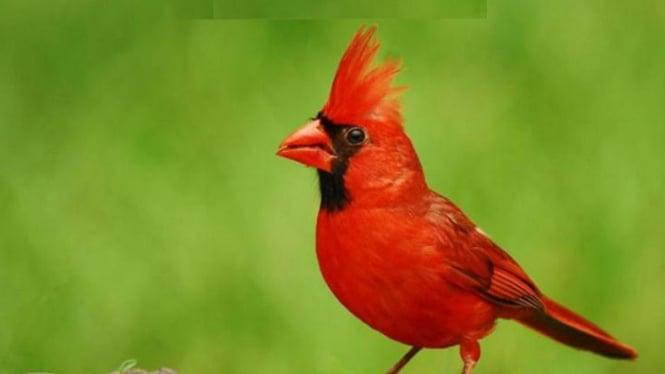Burung Cardinal