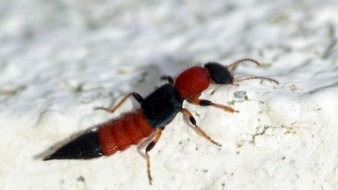 tomcat (rove beetle)