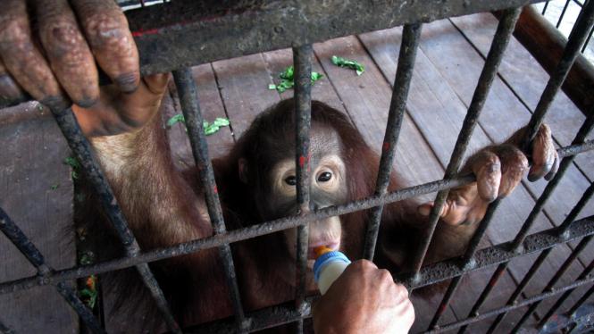 Bayi orangutan dalam perawatan di Surabaya