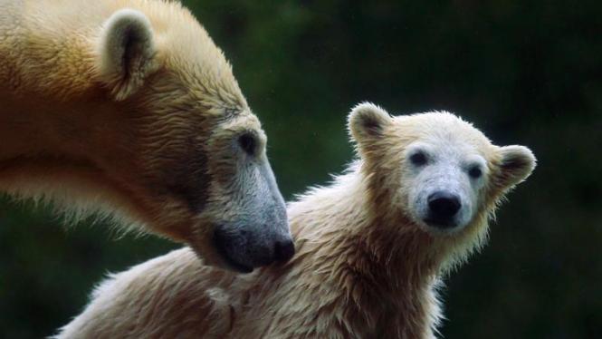 Beruang Kutub di Kebun Binatang Jerman