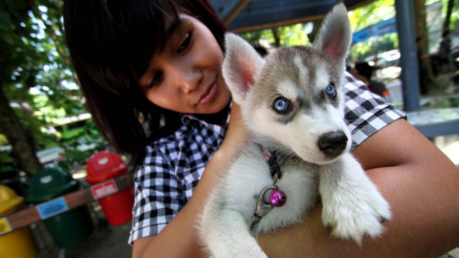 Anjing Siberian husky di pelukan pemiliknya