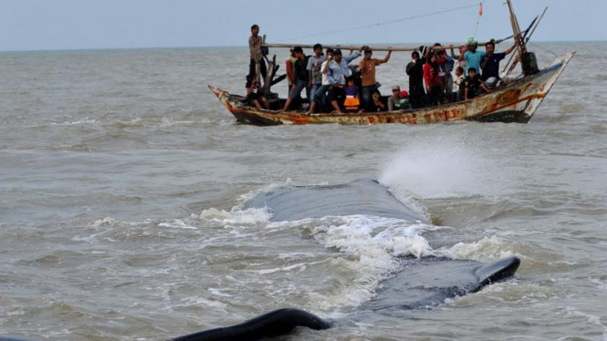 Ikan Paus Terdampar di Pantai Tanjung Pakis, Karawang