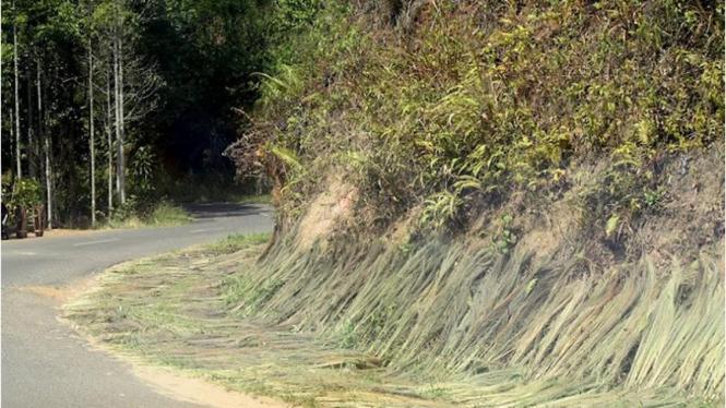 Menjemur rumput sepanjang jalan