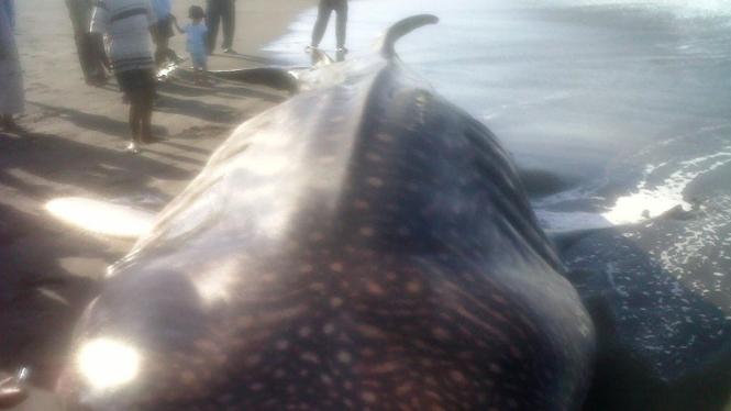 Hiu paus yang terdampar di pantai DIY