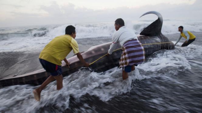 Seekor ikan Hiu Paus terdampar di pantai Pandansimo