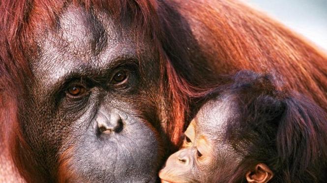 sumber gambar : http://species2011s.wikispaces.com/file/view/female-sumatran-orangutan-and-baby-pictures.jpg
