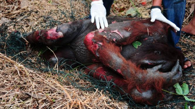 Evakuasi Orangutan Sekarat