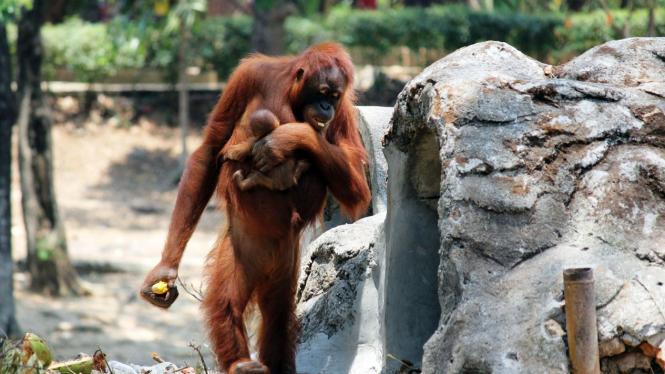 Orangutan Tori melahirkan