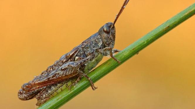 Ilustrasi belalang.