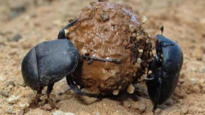 kumbang tinja (scarabs)
