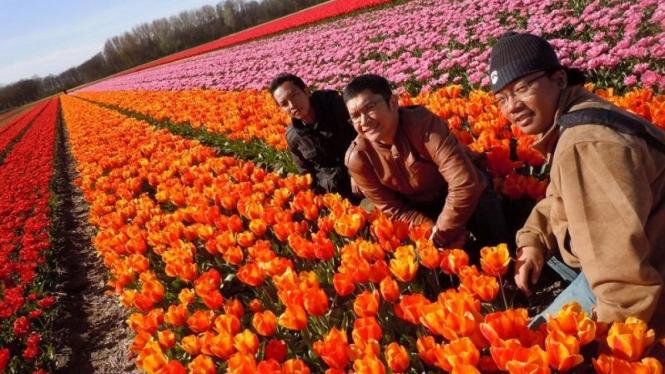Menikmati keindahan Tulip di Belanda