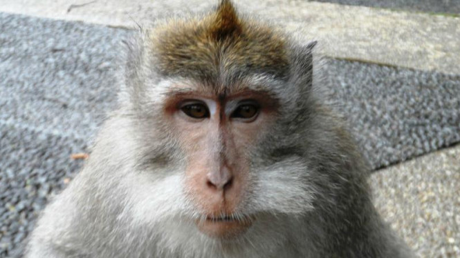 Monyet di Hutan Sangeh