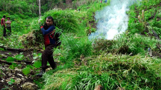 Pembakaran Ladang Ganja di Aceh