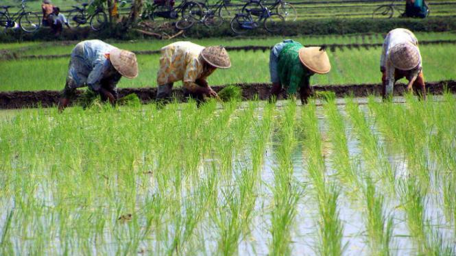 Tanaman Pangan Dominasi Rumah Tangga Usaha Pertanian Viva