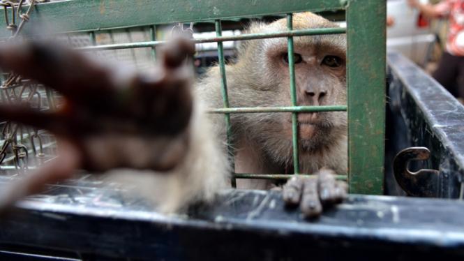 Ilustrasi-Monyet liar
