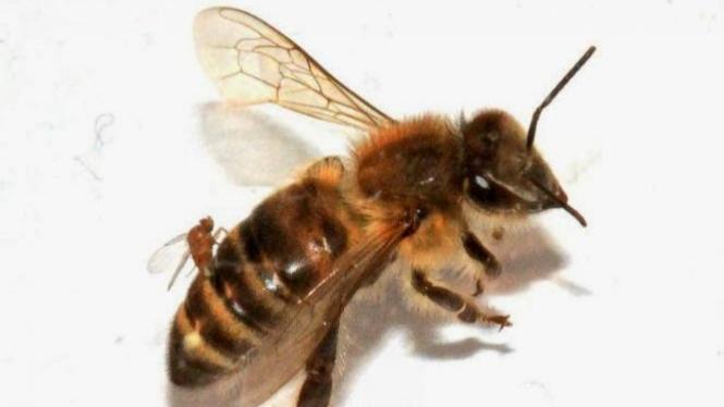 Lalat menempel pada lebah yang menjadi parasit.
