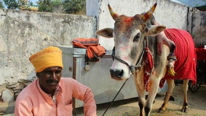 Raj Pratap dan sapi ajaibnya, Raju.