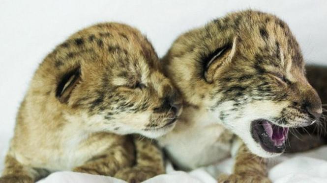 Liliger, spesies baru campuran singa dan liger