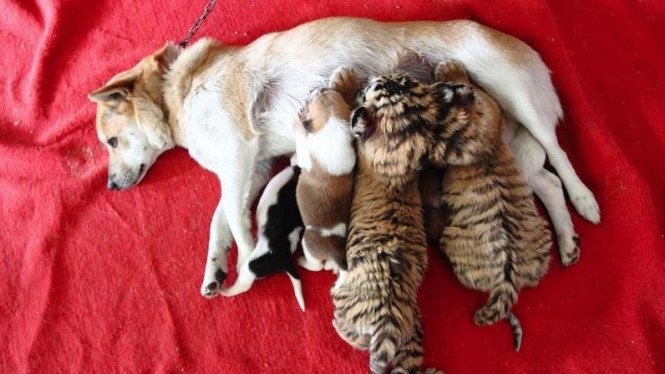 Anjing susui bayi harimau