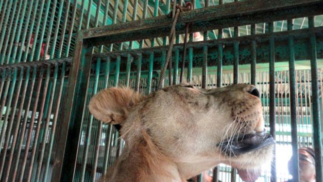 singa mati tergantung di KBS