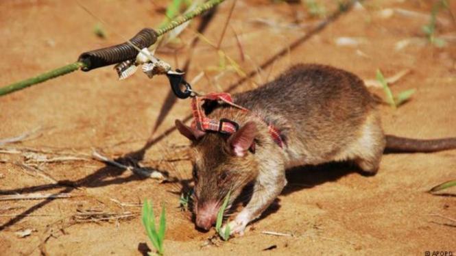 Tikus Tikus Pelacak dan Pembarsih Ranjau