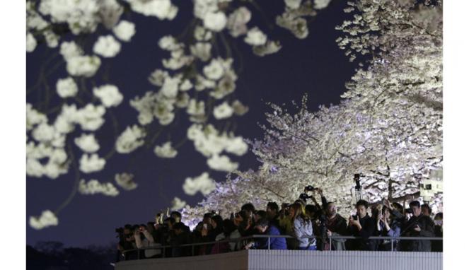 Sakura mekar di Jepang 2014