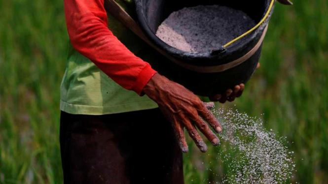 Ilustrasi/Petani di ladang sawah padi menyebarkan bubuk pestisida