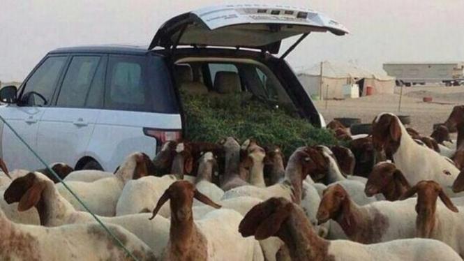 Range Rover yang digunakan untuk angkut makan ternak.