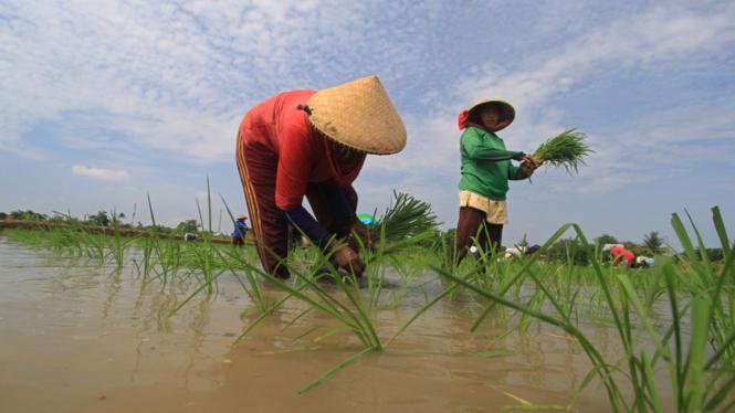Sejumlah petani menanam padi di areal sawah.