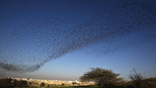 Migrasi Burung Jalak