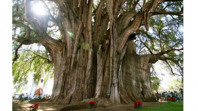 Ilustrasi pohon tertua.