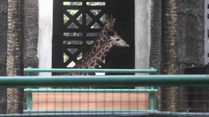 Dua jerapah dari Australia tiba di Kebun Binatang Ragunan