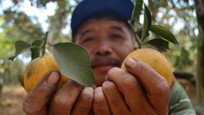 petani jeruk siap panen