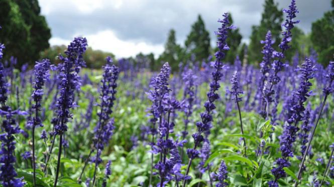 Ilustrasi bunga lavender