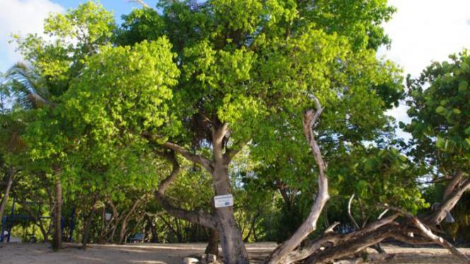 Pohon manchineel.