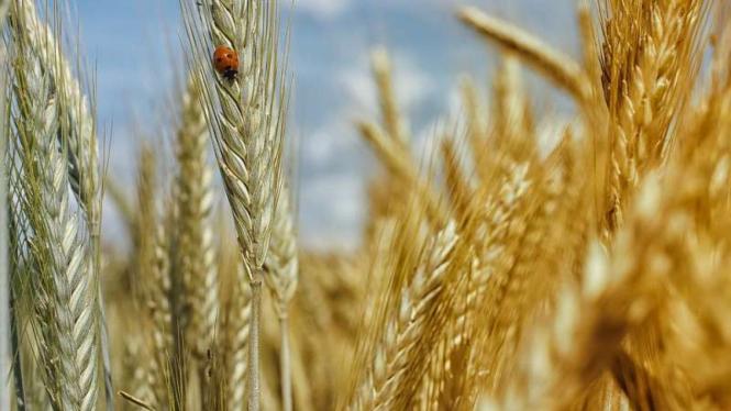 Tanaman gandum.