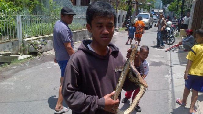 Salah satu ular piton yang ditangkap warga Jalan Anggrek, Kota Semarang, Jawa Tengah, pada Rabu, 24 Februari 2016.