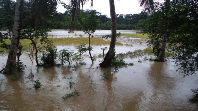 Banjir yang melanda sawah petani di Bengkulu