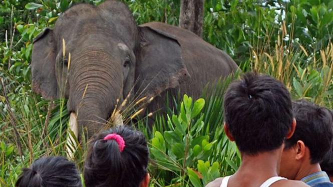 Ilustrasi/Warga menyaksikan Gajah Sumatera  di Pusat Latihan Gajah (PLG) Kabupaten Siak, Riau, Minggu (28/2/2016)