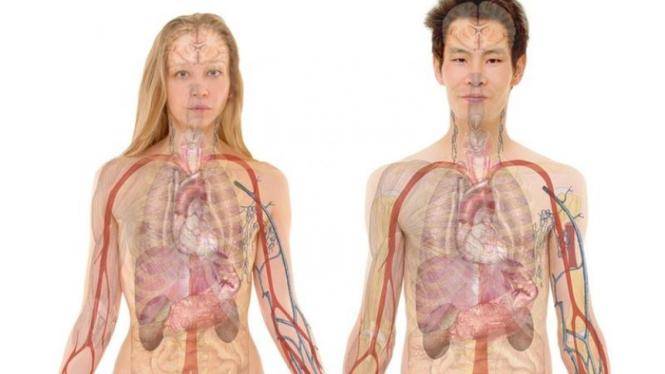 Ilustrasi organ tubuh.