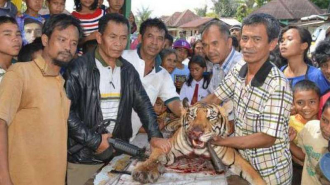 Warga Desa Silantong Julu Kecamatan Pangaribuan Kabupaten Tapanuli Utara Sumatera Utara, Rabu 9 Maret 2016, bersama kepolisian setempat menunjukkan harimau yang telah dibunuh.