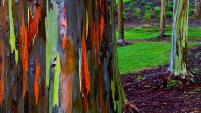 Pohon Loreng di Sulawesi Tenggara.