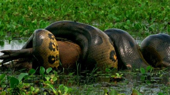 Anaconda.