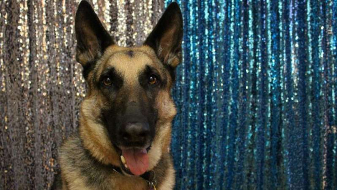 Kabar Gembira, Anjing Bisa Dilatih untuk Mengendus Virus Corona