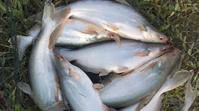 Ikan Patin Kualo Khas Pelalawan